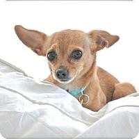 Adopt A Pet :: Piccolo - Spring Valley, NY