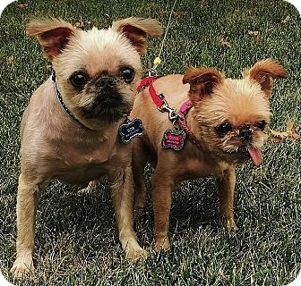 Brussels Griffon Dog for adoption in Overland, Kansas - BOB & OLIVIA: Adopted