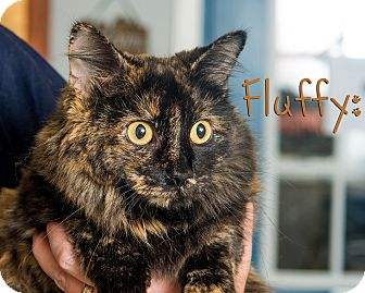 Domestic Mediumhair Cat for adoption in Somerset, Pennsylvania - Fluffy