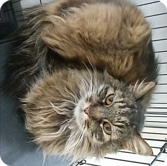 Maine Coon Cat for adoption in Westminster, California - Kitty