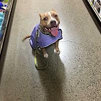 Adopt A Pet :: Valor - Mead, WA