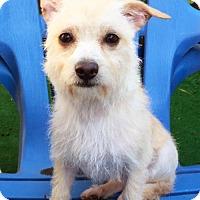 Adopt A Pet :: Macy - Los Angeles, CA