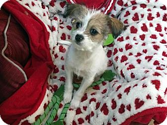 Yorkie, Yorkshire Terrier/Jack Russell Terrier Mix Puppy for adoption in Agoura Hills, California - 'BETTY'