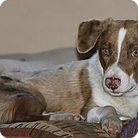 Australian Shepherd Mix Dog for adoption in Farmington, Minnesota - Ozzy