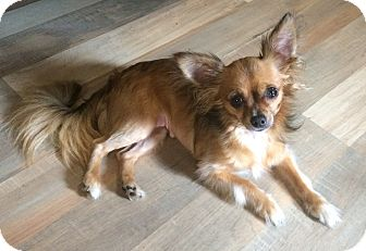 Chihuahua Dog for adoption in Savannah, Georgia - Eevee