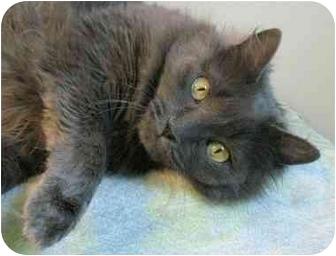 Domestic Longhair Cat for adoption in Plainville, Massachusetts - Blossom