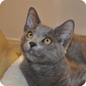 Russian Blue Kitten for adoption in Foothill Ranch, California - Grover