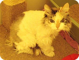 Calico Cat for adoption in Scottsdale, Arizona - Newman - no risk - tiny