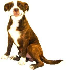 Australian Shepherd Mix Dog for adoption in Inverness, Florida - Hooch
