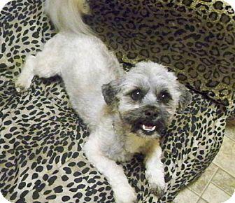 Lhasa Apso Mix Dog for adoption in Los Angeles, California - BRANDO