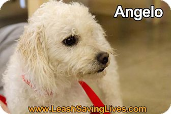 Poodle (Standard)/Bichon Frise Mix Dog for adoption in Pitt Meadows, British Columbia - Angelo