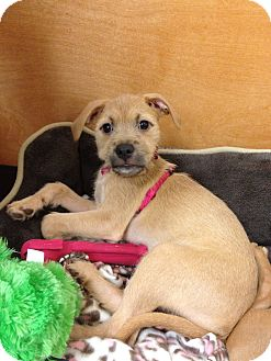 Terrier (Unknown Type, Medium) Mix Puppy for adoption in North Brunswick, New Jersey - Kasey