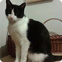 Domestic Shorthair Cat for adoption in New York, New York - Cynthia