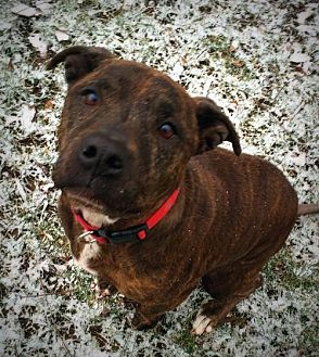 American Staffordshire Terrier/Boxer Mix Dog for adoption in Indianapolis, Indiana - Angel