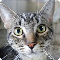 Domestic Shorthair Cat for adoption in Redwood City, California - Cheska