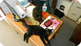 Domestic Mediumhair Kitten for adoption in Clearwater, Florida - Lucky & Jinx