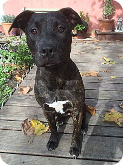 American Pit Bull Terrier/Dutch Shepherd Mix Puppy for adoption in Sonoma, California - Lilly