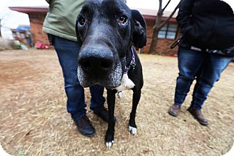Great Dane Mix Dog for adoption in Lubbock, Texas - Zoe