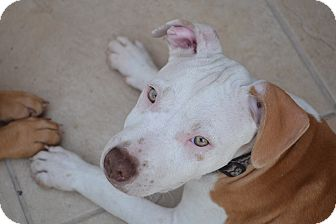 Pit Bull Terrier Mix Puppy for adoption in San Diego, California - Swift