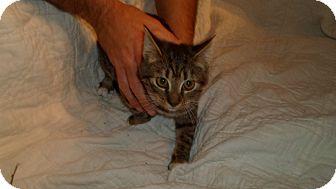 American Shorthair Cat for adoption in Hazard, Kentucky - Bootie