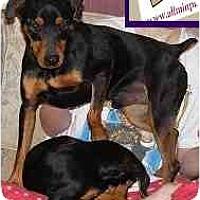 Adopt A Pet :: Rowan - Swiftwater, PA