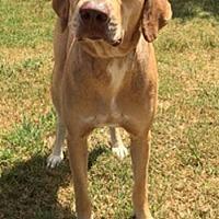 Rhodesian Ridgeback/Catahoula Leopard Dog Mix Dog for adoption in Seguin, Texas - Peyton