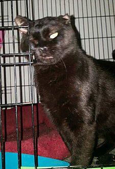 Domestic Shorthair Cat for adoption in Monrovia, California - Pump (FELV+)