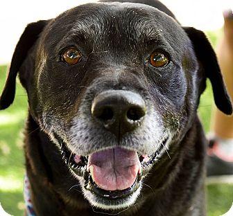 Labrador Retriever Mix Dog for adoption in San Antonio, Texas - Uncle-Sam