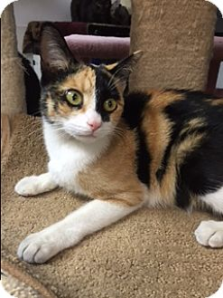 Domestic Shorthair Cat for adoption in Brea, California - ELLA