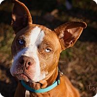 Adopt A Pet :: Blu - Springfield, MO