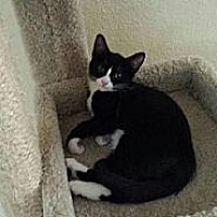 Domestic Shorthair Kitten for adoption in Miami, Florida - Chiquitica