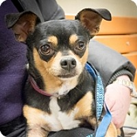 Adopt A Pet :: Tinkerbell - Loudonville, NY