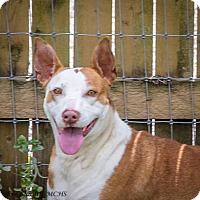 Adopt A Pet :: Abbigail - Martinsville, IN
