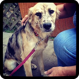 Australian Shepherd Mix Dog for adoption in Los Angeles, California - Josie