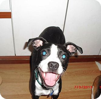 Boston Terrier/Pug Mix Puppy for adoption in Northumberland, Ontario - Lilly