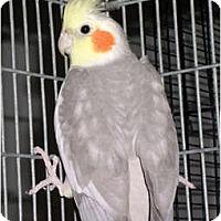 Adopt A Pet :: Arnie - St. Louis, MO