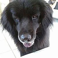 Adopt A Pet :: Fester - Largo, FL