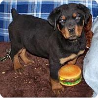 Adopt A Pet :: Cubbie ADOPTION PENDING - Antioch, IL