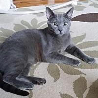 Siamese Kitten for adoption in Horsham, Pennsylvania - Charcoal