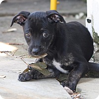 Adopt A Pet :: Winchester - Puppy - Dallas, TX