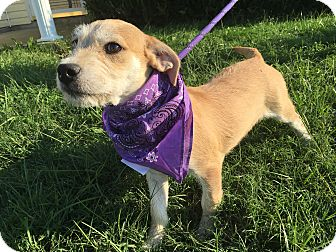 Terrier (Unknown Type, Medium) Mix Puppy for adoption in Oak Grove, Kentucky - Dove