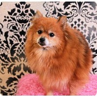 Pomeranian Dog for adoption in Dallas, Texas - Trinity