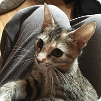Domestic Shorthair Kitten for adoption in Charlotte, North Carolina - Cali