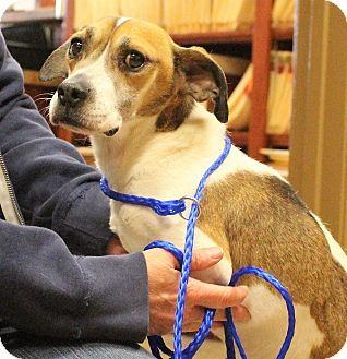Beagle/Feist Mix Dog for adoption in Glastonbury, Connecticut - Edwin