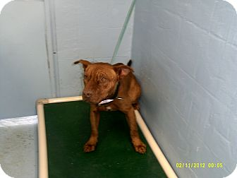 American Pit Bull Terrier Mix Dog for adoption in Dundas, Virginia - Paul - Facing Death