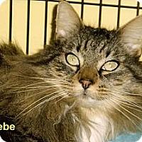 Adopt A Pet :: Phoebe - Medway, MA