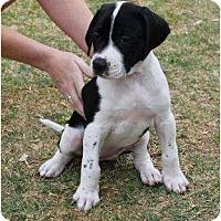 Adopt A Pet :: Juno - Mesa, AZ