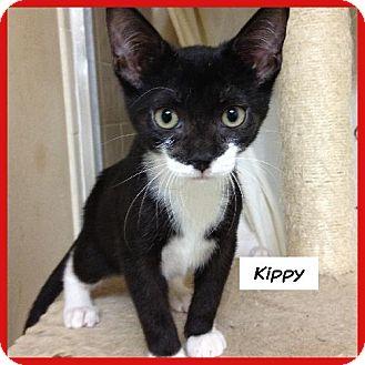 Domestic Shorthair Cat for adoption in Miami, Florida - Kippy