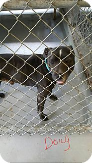 Pit Bull Terrier Mix Dog for adoption in Livingston Parish, Louisiana - Doug