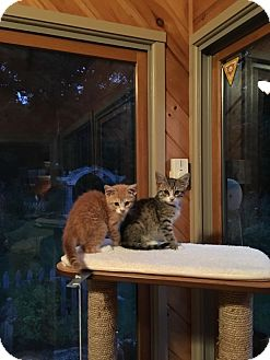 Domestic Shorthair Kitten for adoption in Swansea, Massachusetts - Nicky and Dawn